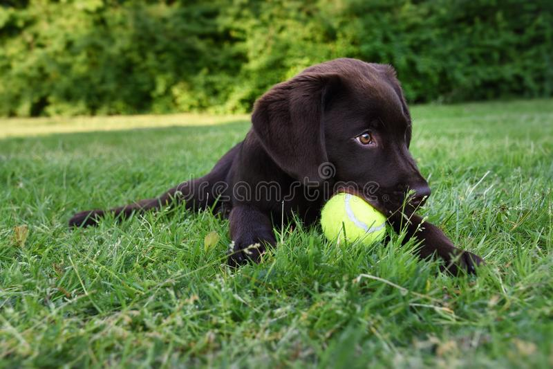 Nettes Labrador-Hündchen, das sich im Gras mit Tennisball im Mund hinlegt stockfotografie