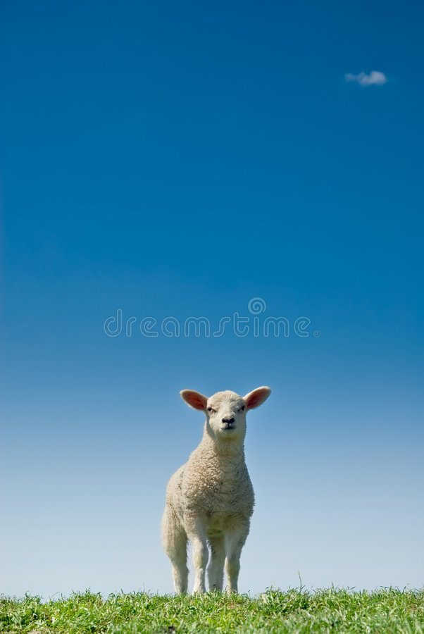 Nettes Lamm lizenzfreies stockfoto