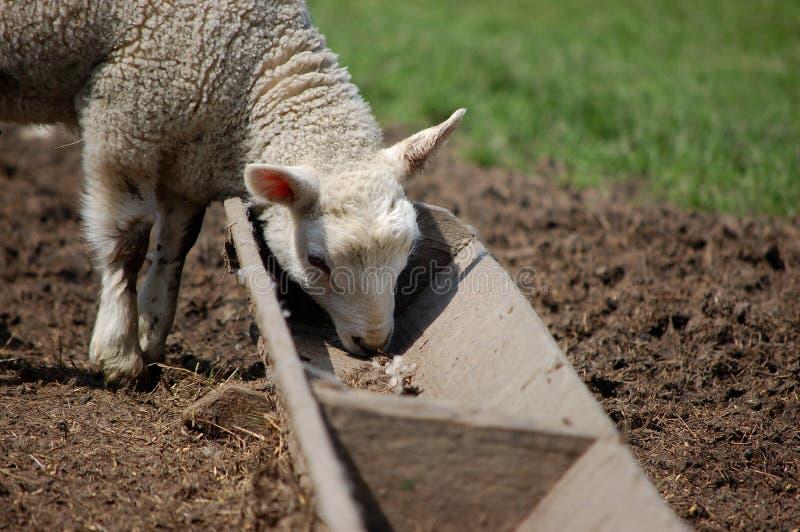 Nettes Lamm, das von einer Abflussrinne speist lizenzfreies stockfoto