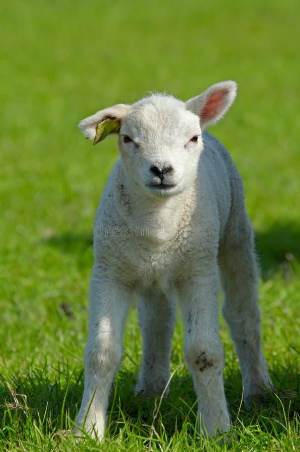 Nettes Lamm im Frühjahr stockfotos
