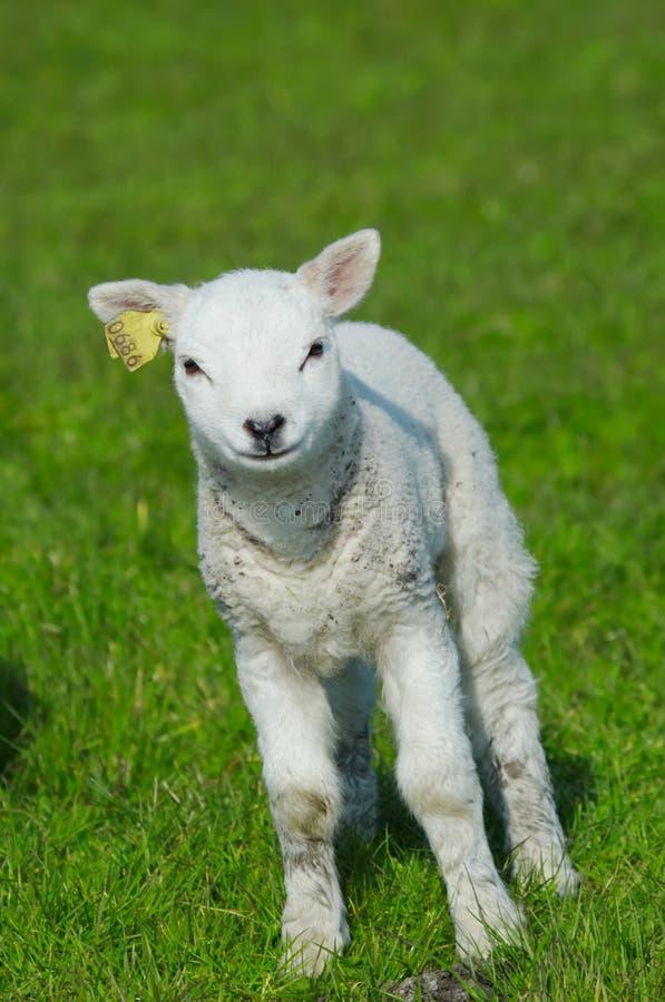 Nettes Lamm im Frühjahr lizenzfreie stockfotografie