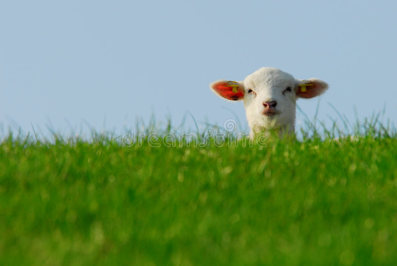 Nettes Lamm im Frühjahr stockfotografie
