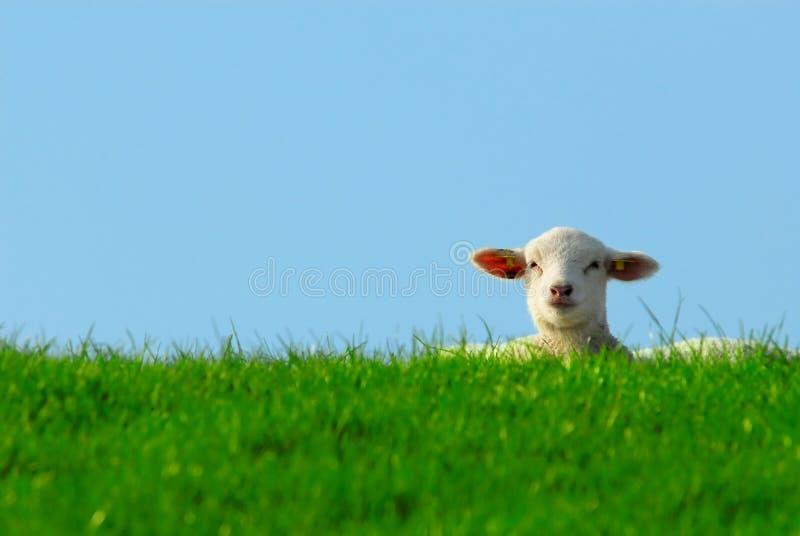 Download Nettes Lamm im Frühjahr stockfoto. Bild von vieh, landwirtschaft - 9081750