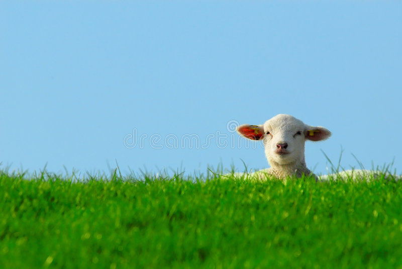Nettes Lamm im Frühjahr stockfoto