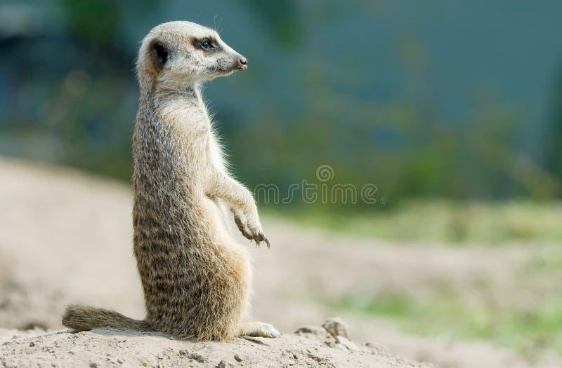 Nettes meerkat lizenzfreie stockbilder