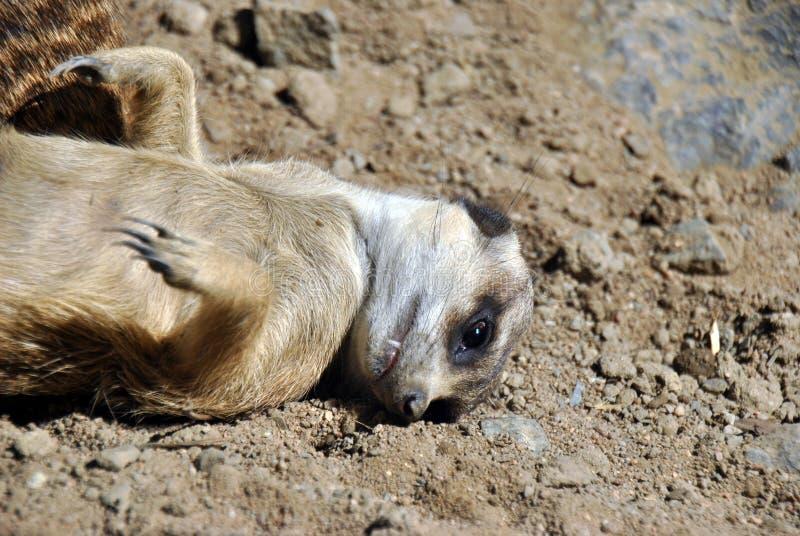 Nettes meerkat, das auf dem Sand liegt stockfoto