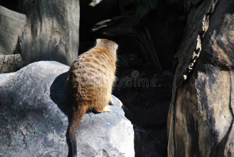 Nettes meerkat, das auf einem Felsen schaut über seinem Gebiet sitzt lizenzfreie stockfotografie