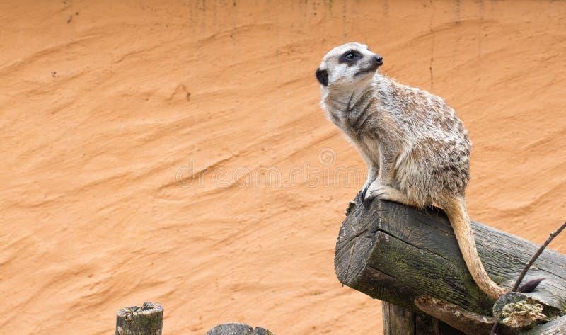 Nettes meerkat, das für uns aufwirft lizenzfreies stockfoto