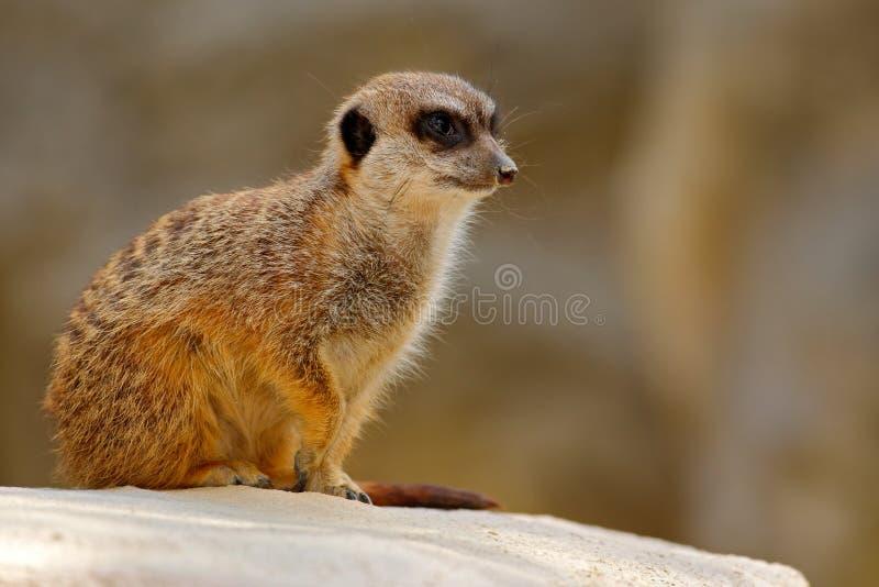 Nettes Meerkat, Suricata suricatta, sitzend auf dem Stein stockfotos