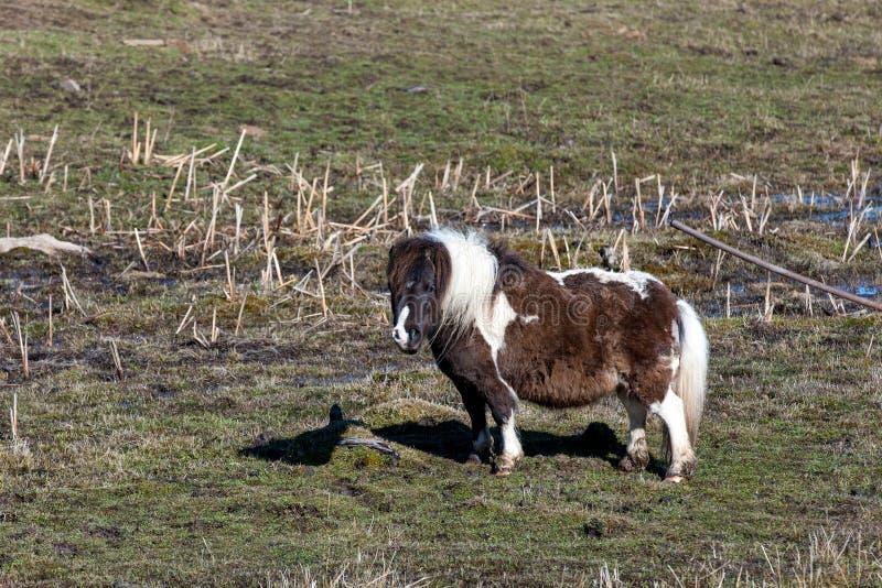 Nettes Miniaturpferd auf dem Gebiet stockfotografie