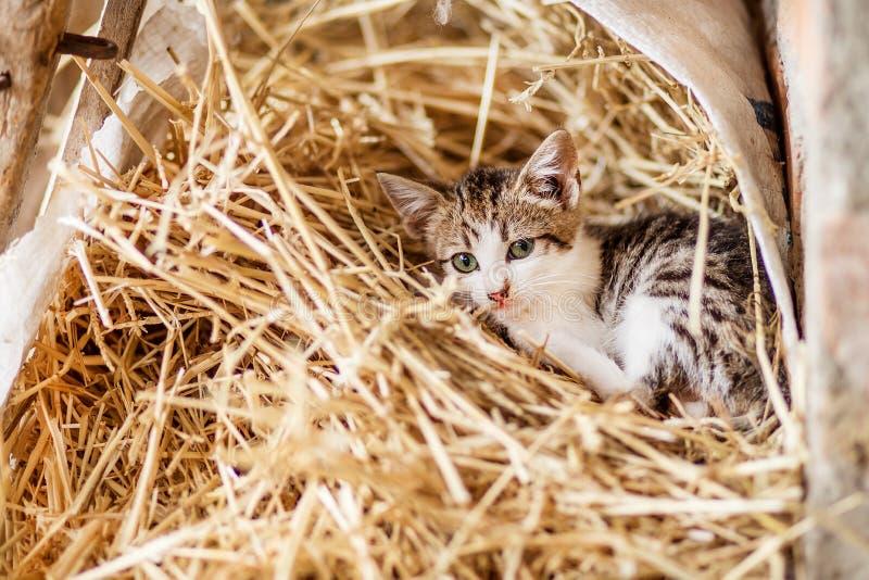 Nettes neugieriges Katzenkätzchen, ausgebesserte getigerte Katze und weißer Pelz, sitzend unter verwelktem Gras stockfotografie