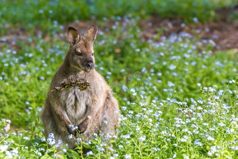Nettes Pelzwallaby auf dem Gebiet von Blumen stockfotos