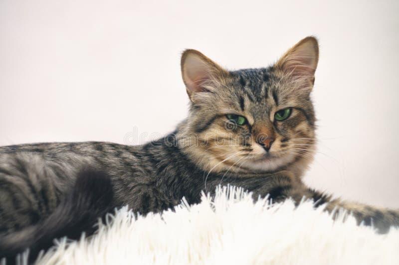 Nettes Portr?t einer gestreiften sch?nen Katze faulen Schlafens Junge Pelzkatze auf, der Couch, mit den Tatzen in einer wei?en De lizenzfreies stockbild