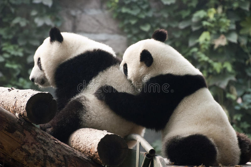 Nettes riesiger PandaBärenjunges spielen, Peking-Zoo China stockfotos