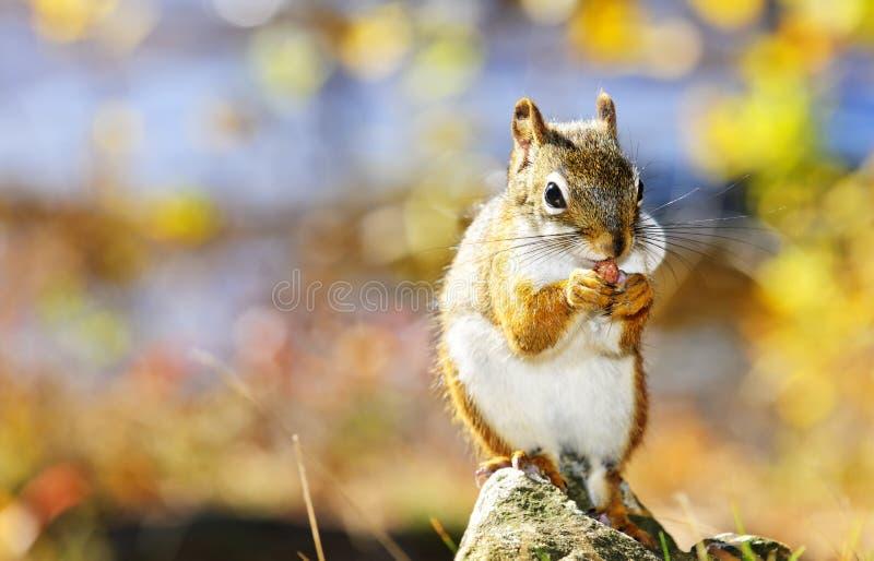 Nettes rotes Eichhörnchen, das Mutter isst lizenzfreie stockfotos