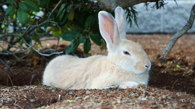Nettes schläfriges weißes Kaninchen stockfotografie