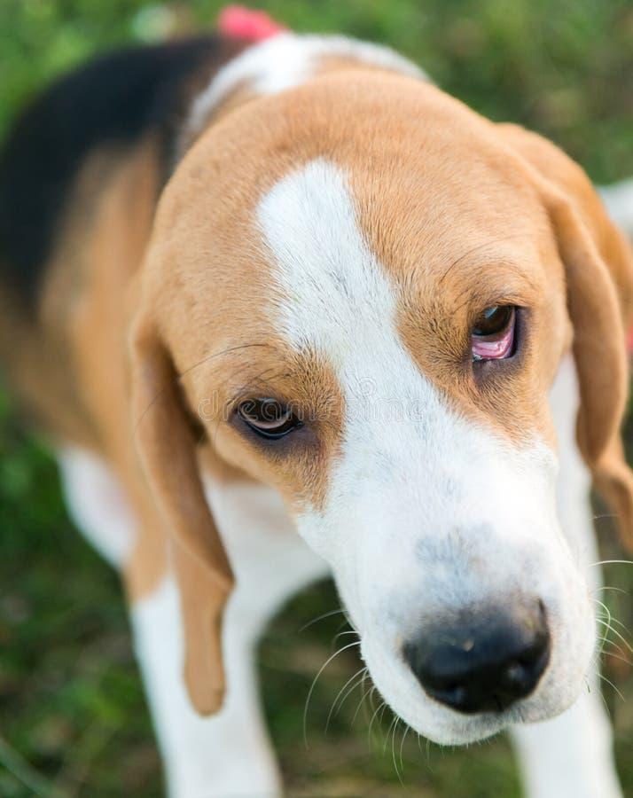 Nettes Spürhundporträt stockbilder
