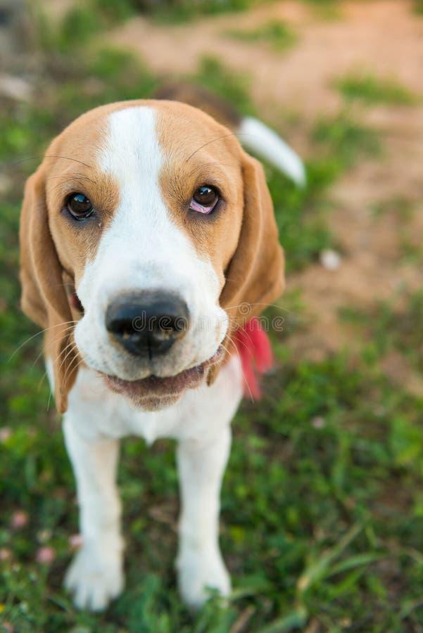 Nettes Spürhundporträt lizenzfreie stockfotografie
