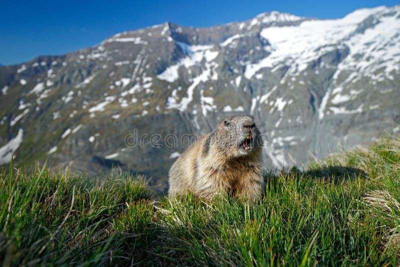 Nettes Tiermurmeltier, Marmota Marmota, bedeckt ihn herein sitzend, im Naturlebensraum, Grossglockner, Alpe, Österreich mit Gras, lizenzfreie stockfotografie