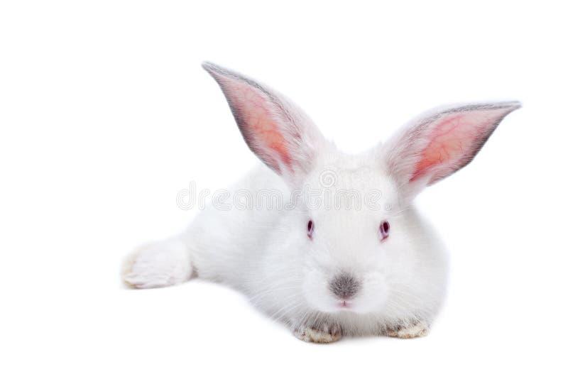 Nettes weißes getrenntes Schätzchenkaninchen lizenzfreies stockfoto