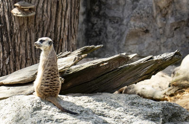 Nettes wenig meerkat im Zoo lizenzfreie stockfotografie