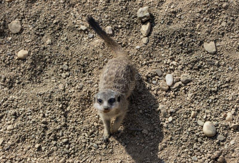 Nettes wenig meerkat im Zoo stockbilder