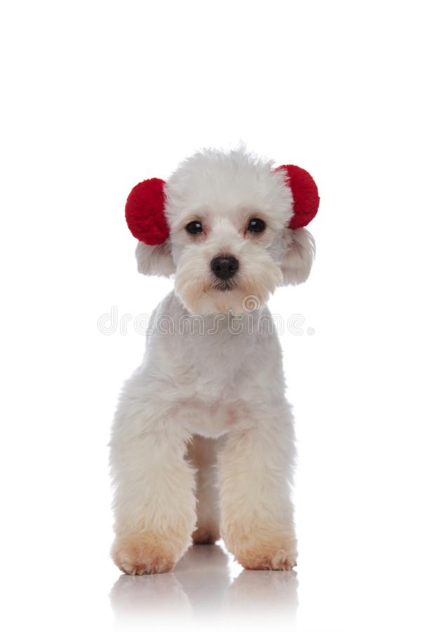 Nettes wenig weißes bichon, das rote Ohrenschützer steht und trägt lizenzfreie stockbilder