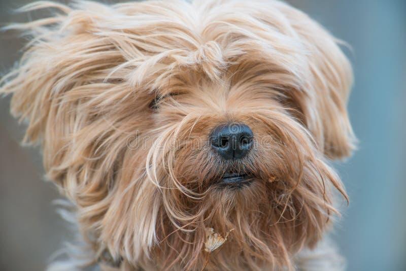 Nettes Yorkshire-Terrierporträt draußen an einem windigen Tag lizenzfreies stockfoto