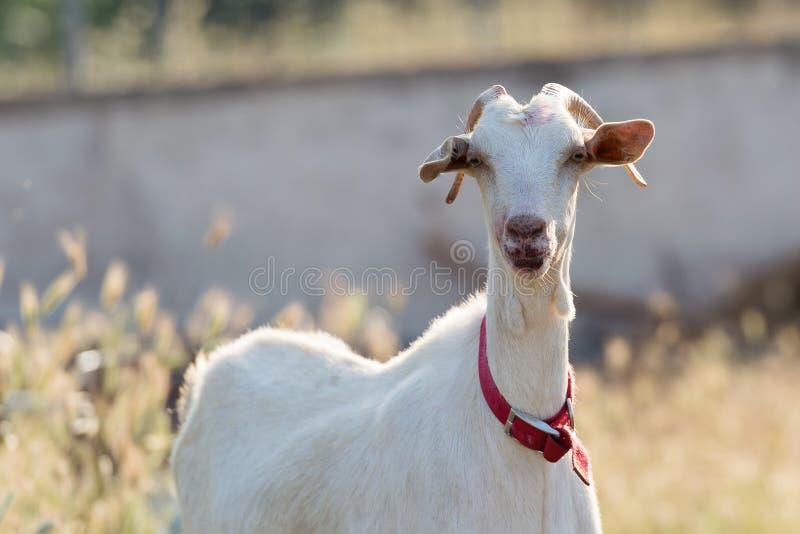 Nettes Ziegenporträt lizenzfreies stockfoto