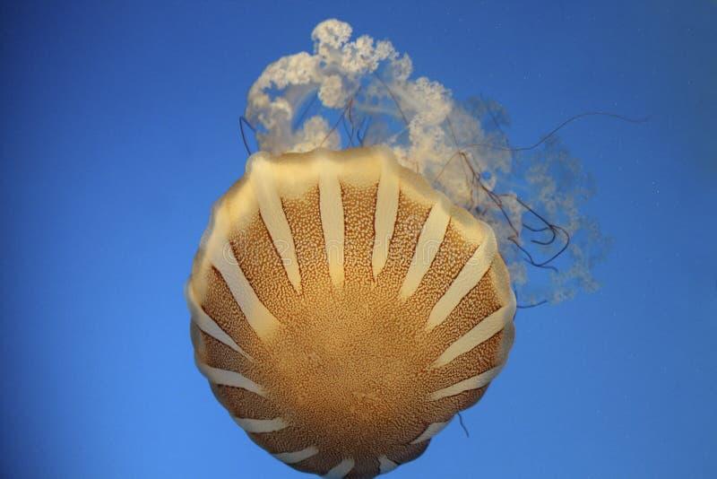 nettle ζελατίνας ψαριών θάλασσα στοκ εικόνα με δικαίωμα ελεύθερης χρήσης