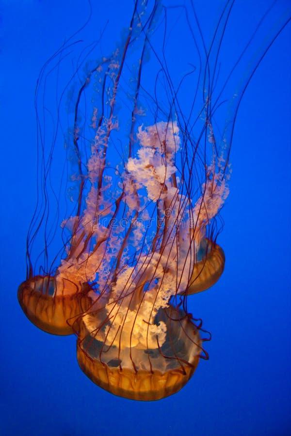Nettle θάλασσας ζελατίνα, Chrysaora fuscescens στοκ εικόνες με δικαίωμα ελεύθερης χρήσης