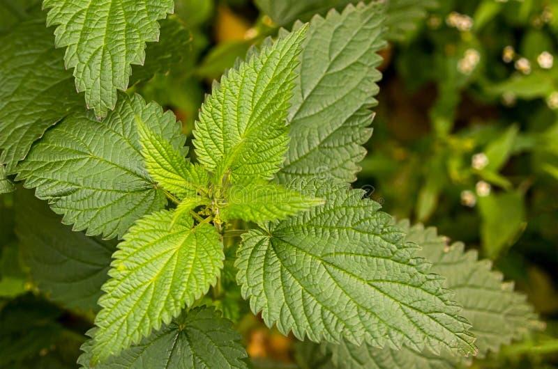 Nettle πράσινη φρέσκια κινηματογράφηση σε πρώτο πλάνο τσιμπήματος φυτών φύλλων στον ήλιο στοκ φωτογραφία με δικαίωμα ελεύθερης χρήσης