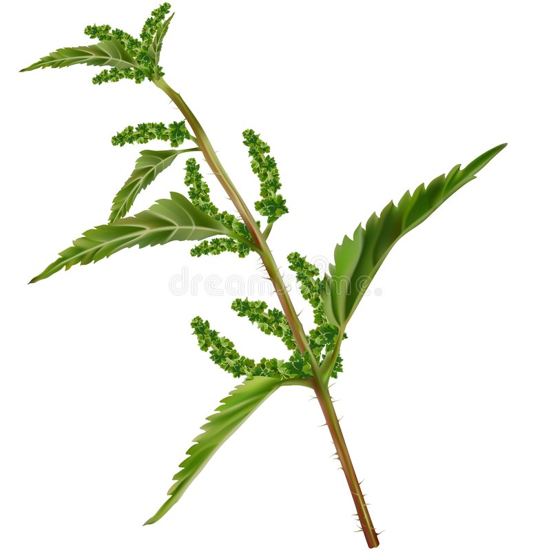 Download Nettle Royalty Free Stock Image - Image: 8054876