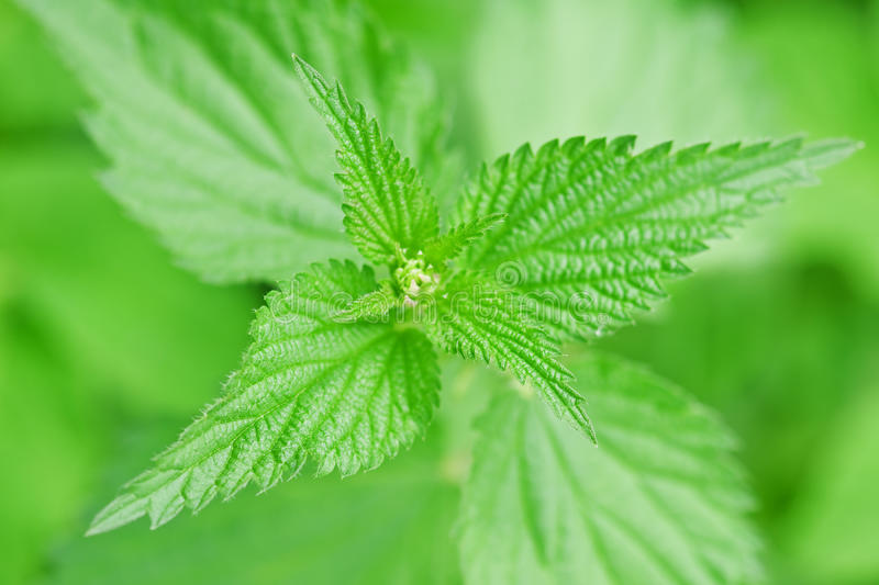 Download Nettle stock image. Image of alternative, plant, wild - 9523337