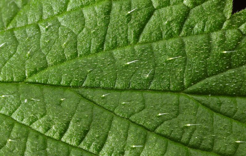 Nettle defensive hairs with irritants. Macro of stinging hairs or defensive trichomes filled with irritants on stinging nettle Urtica dioica leaf background stock photos