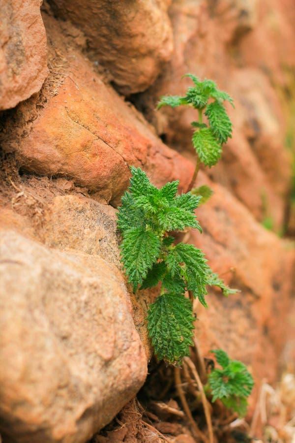 Nettle growing among the rocks stock photography
