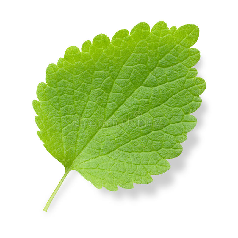 Nettle leaf. Stinging nettle (Urtica) green leaf isolated on white background stock images