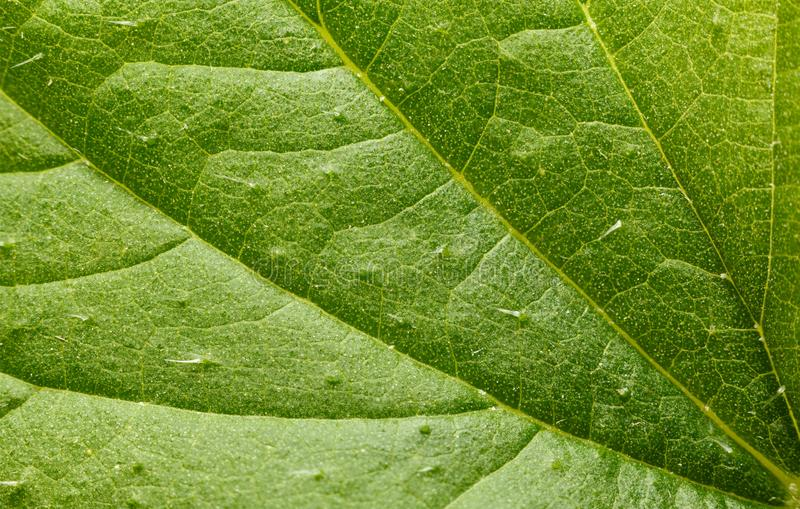 Nettle leaf background. Macro of stinging hairs or defensive trichomes filled with irritants on stinging nettle Urtica dioica leaf stock photography