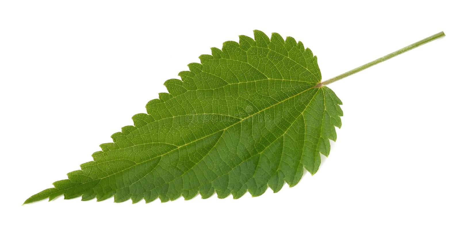 Nettle leaf isolated. On white background stock images