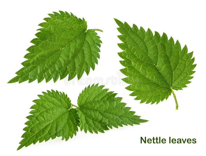 Nettle leaf isolated on white without shadow. Set stock photography