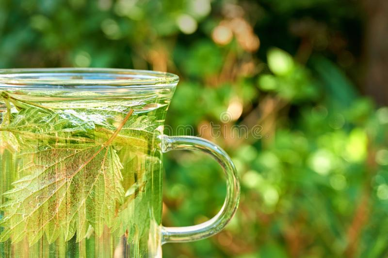Nettle leaves in a glass of nettle tea. Green nettle leaves in a glass of herbal nettle tea  with copy space. Common or stinging nettle stock photography