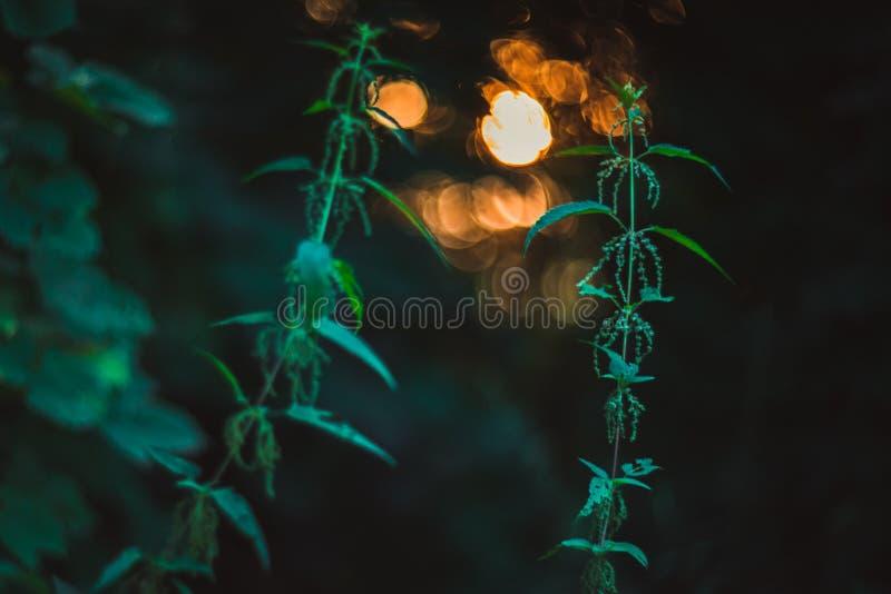 Nettle op zonsondergang royalty-vrije stock fotografie