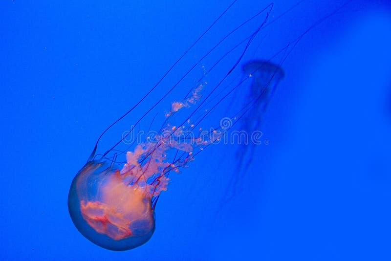 nettles θάλασσα στοκ εικόνα με δικαίωμα ελεύθερης χρήσης
