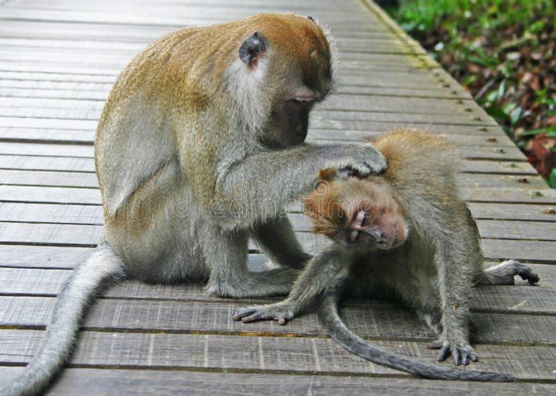 nettoyage de 2 singes image libre de droits
