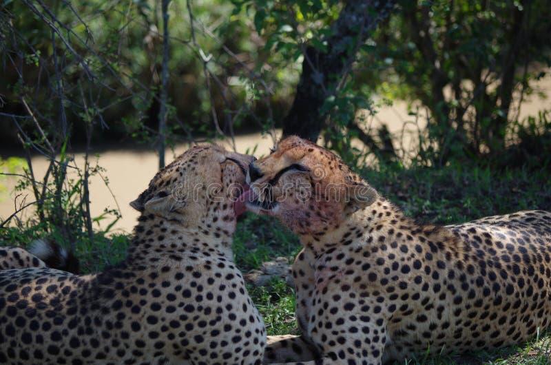 Nettoyage de frères de guépard photographie stock libre de droits