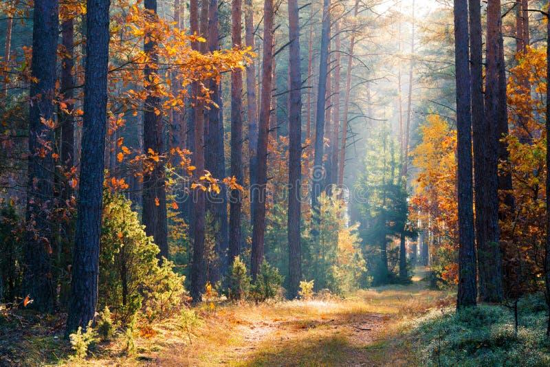 Nettoyez l'environnement Automne Paysage d'automne de forêt d'automne Forêt vive pendant le matin Forêt ensoleillée de chute photo stock
