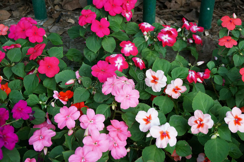 Neu-Guinea impatiens Blumen stockfotos