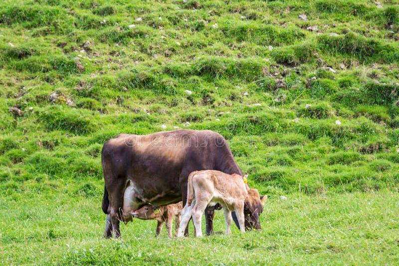 Neuborn calf nursing milk from a mother cow stock image