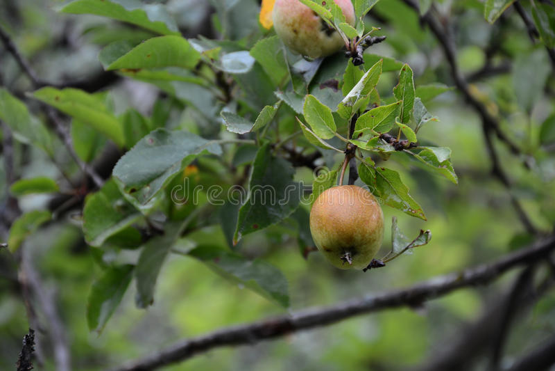 Neue Äpfel stockfotos