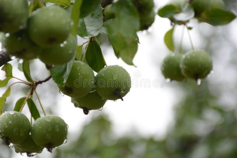 Neue Äpfel lizenzfreies stockbild